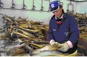 Stockfish_in_Lofoten_par5.JPG